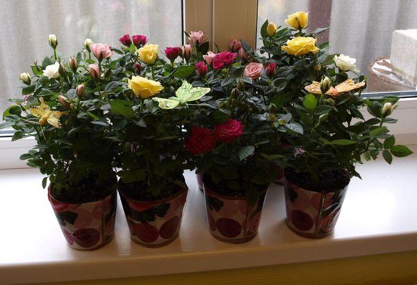 Розы можно выращивать на подоконнике