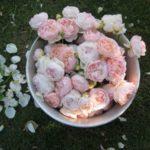 Роза Спрей очень декоративна и элегантна