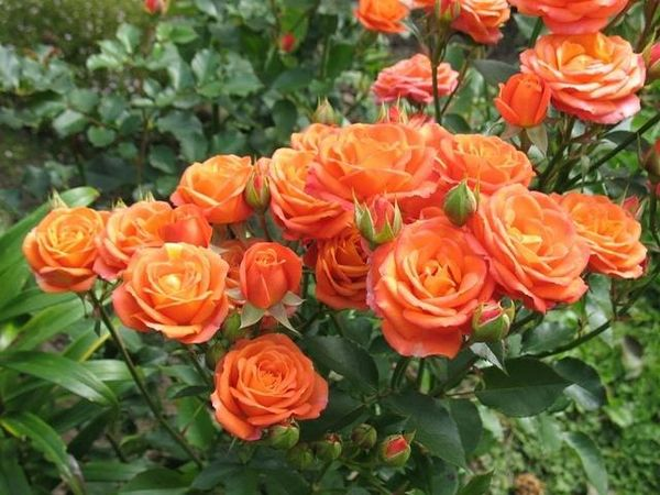 Роза Спрей уместна в любой цветочной композиции