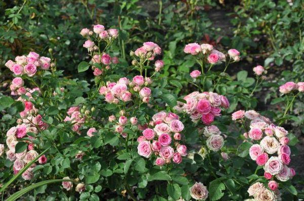 Спрей-розы часто называют «букетными»