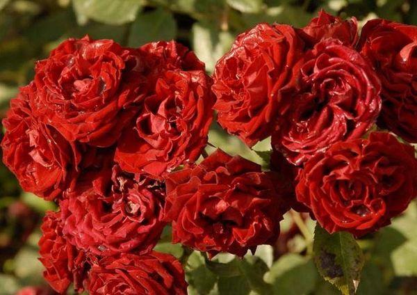 Tamango–очень компактная и декоративная роза
