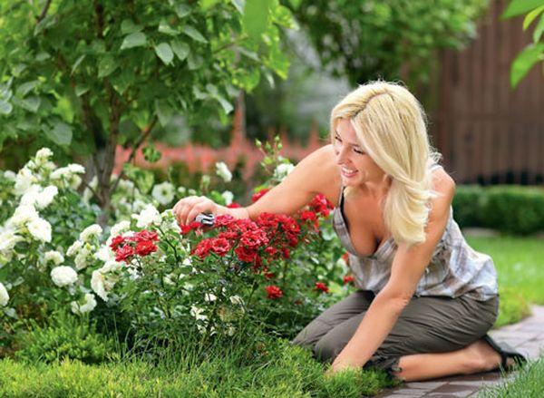 Уход за розами Спрей требуется несложный