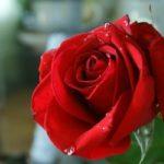 Роза - один из самых прекрасных цветков в мире