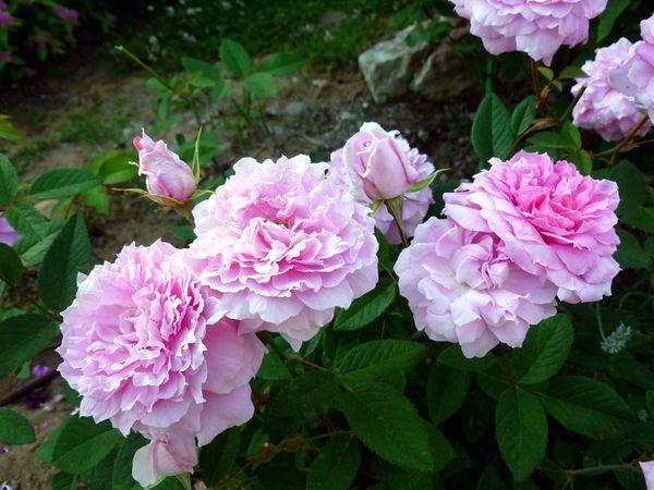The Mayflowerодна из самыхпопулярных роз в Великобритании