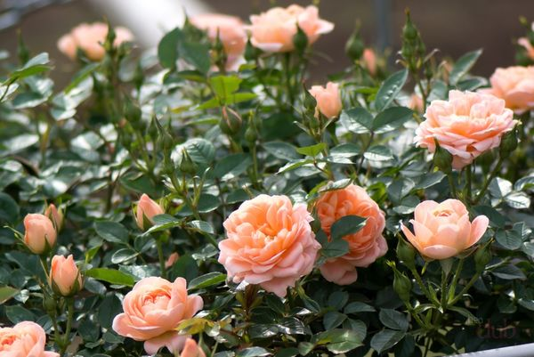 Розы являются одними из самых красивых цветов