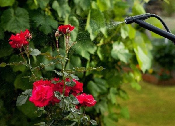 Подкормка роз для роста