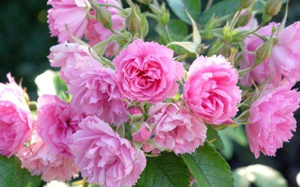 Не все розы нужно защищать от холодов