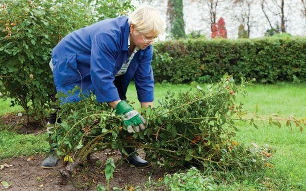 При укрытии плетистой розы нужно стараться не повредить растение