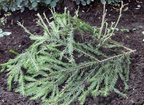 Утеплять растения можно ветками ели