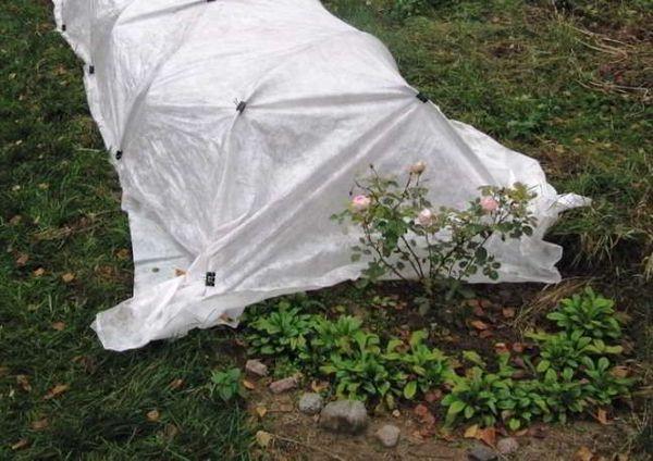 Розы можно укрывать клеенкой