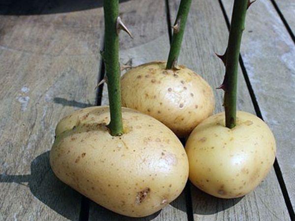 Как выращивать розы из черенков в картошке зимой?