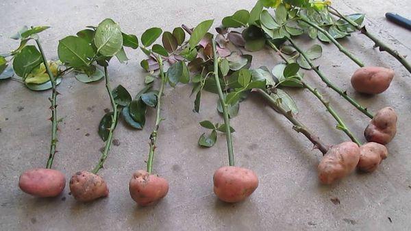 Для этого подходят красные и розовые сорта растений