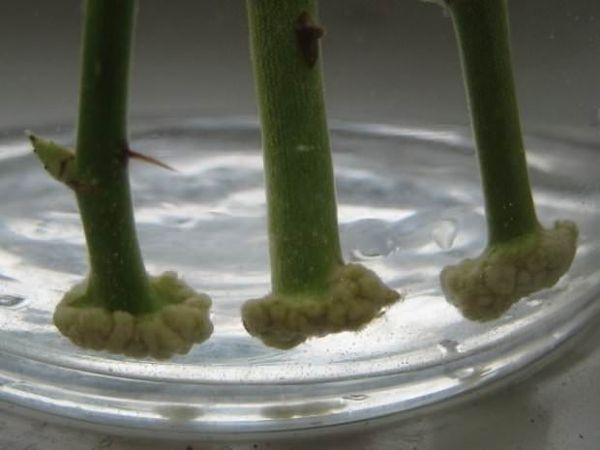 Выращивание роз дома в картошке видео