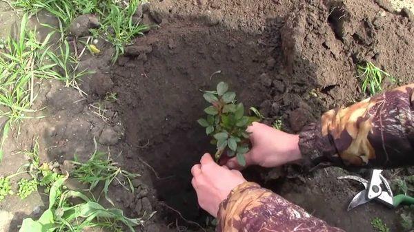 Пересадку растений лучше проводить в первой половине осени