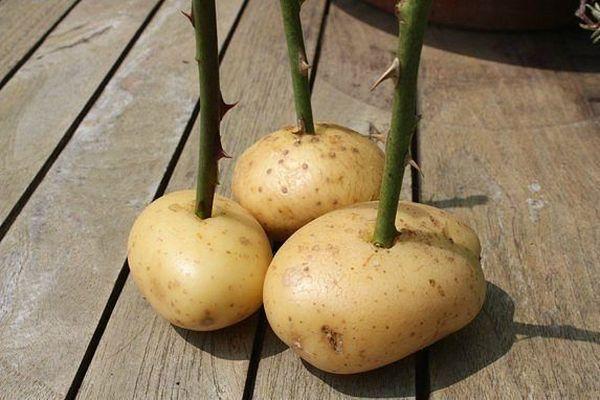 Розы подпитываются картофельным соком
