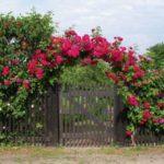 Вьющаяся роза - украшение двора