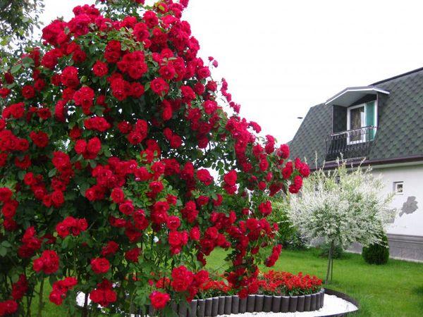 Вьющимися называют плетистые или полуплетистые розы
