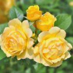 Желтые розы поражают своей красотой