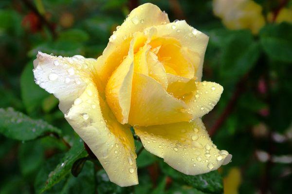 У Fred Howard цветение долгое и обильное