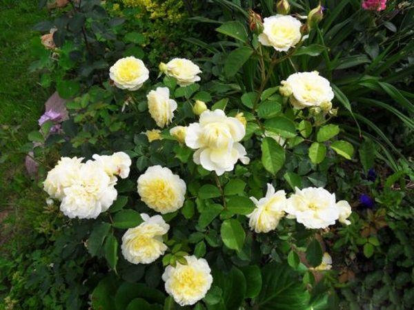 The Pilgrim имеет цветы с плоской розеткой