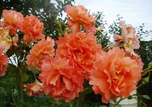 Роза Вестерленд устойчива к морозам и дождям