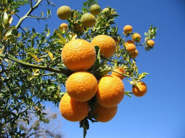 Цитрандарин визуально напоминает лимон