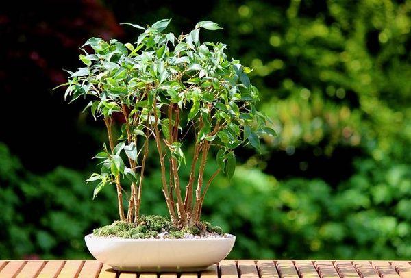Также растение удобряют перегноем на основе птичьего помета