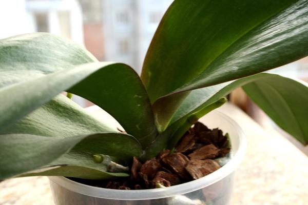 Орхидея фаленопсис нуждается в правильном уходе