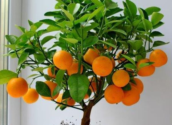Зимой мандарин придется подсвечивать фитолампами