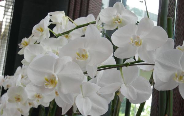 Фаленопсис - самая распространенная королевская орхидея,