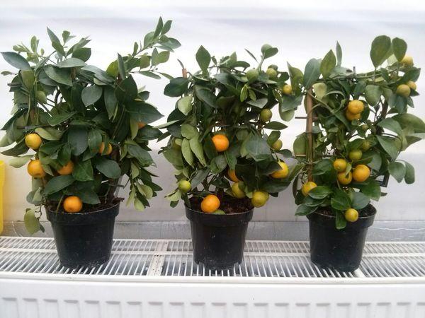 Домашние цитрусы довольно капризные растения