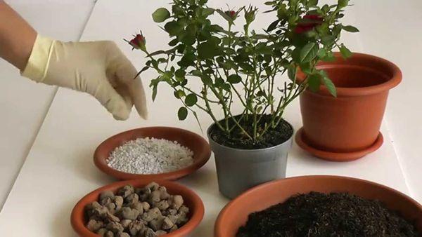 Перед пересадкой розу следует промыть мыльным расствором