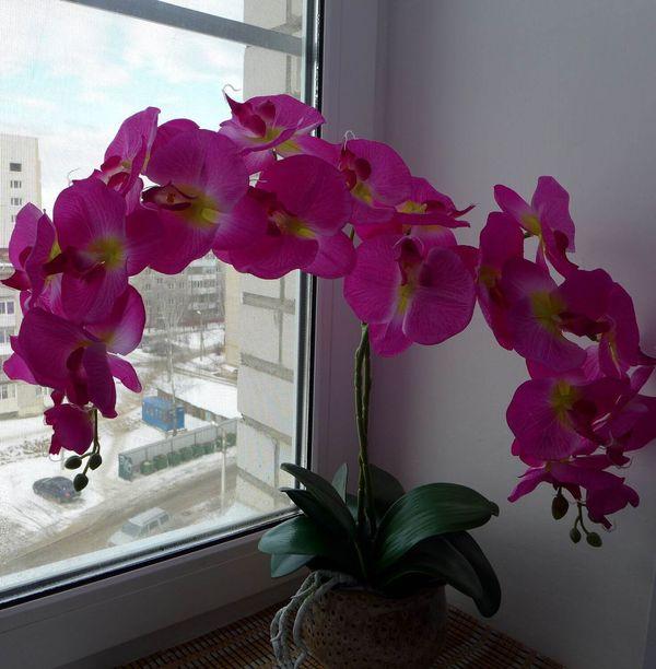 Высота Королевской орхидеи достигает 1 м и выше