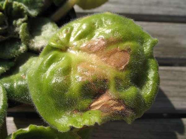 Почвенные клещи могут селиться на листьях