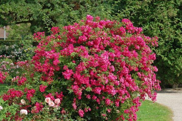 Rosarium Uetersen цветет в течении всего лета
