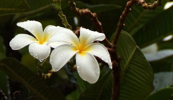 Цветущий фикус можно увидеть в оранжерее