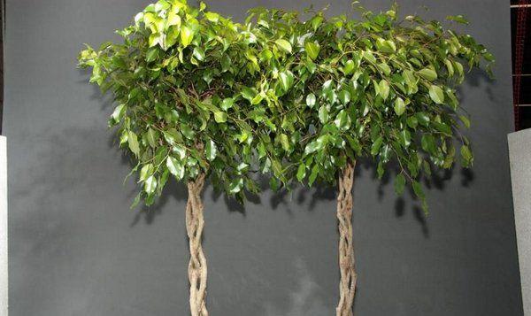 Плетение фикуса начинают при достижении 13-сантиметровой высоты