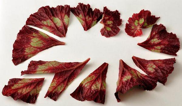 Бегония размножается фрагментами листика