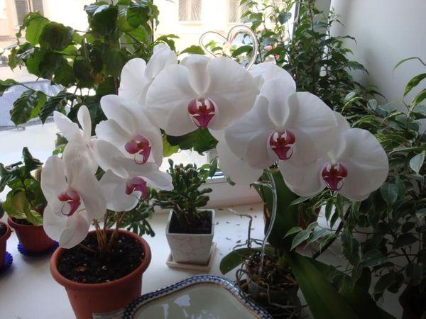 Укоренение молодых ростков - лучший способ размножения орхидеи
