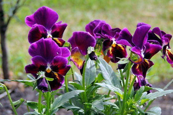 Фиалка трехцветная - популярный цветок