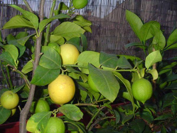 Лимоны Дженоа весят в среднем 110 г