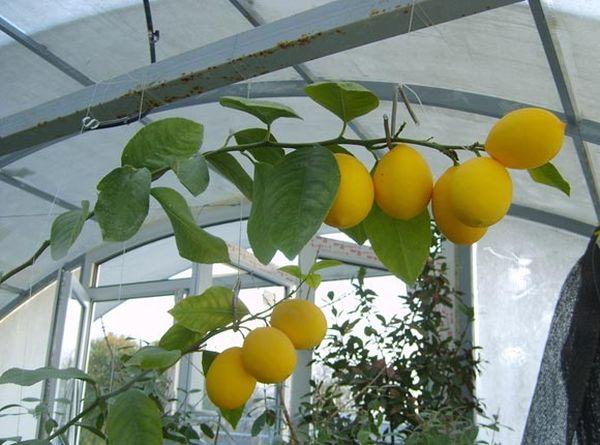 Лимон Мейера относится к скороспелым сортам