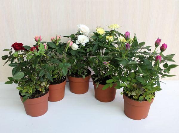 Адаптация розы к новым условиям занимает 1 месяц