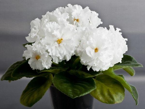 В идеале цветущая фиалка имеет 3 ряда листьев