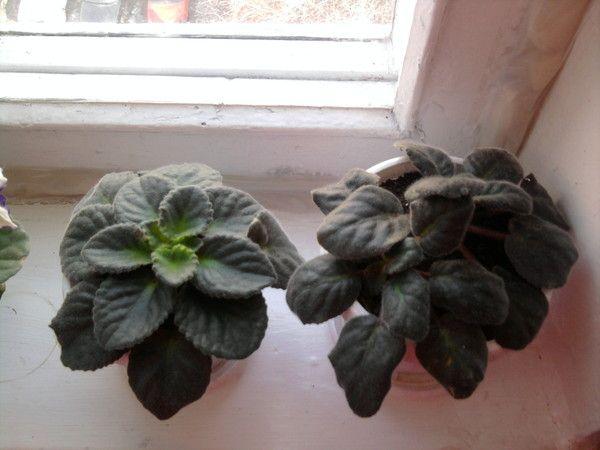 Растение нуждается в хорошем освещении