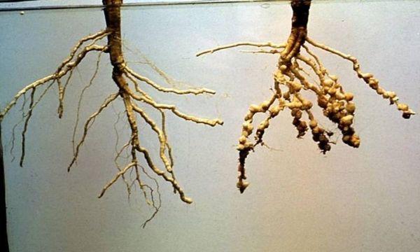 Галловые нематоды «специализируются» в основном на корнях