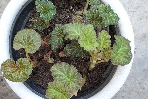 Растение может не увести из-за низкой влажности