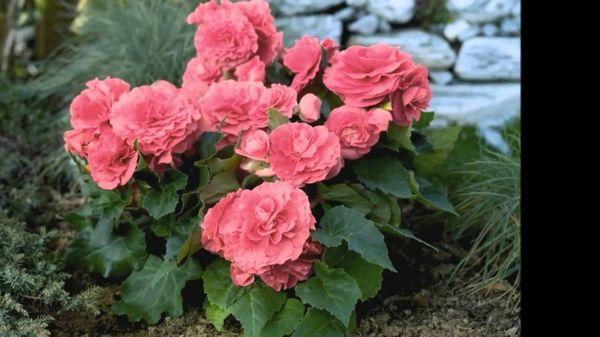 Многолетняя садовая бегония радует своим цветением