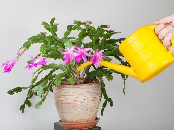 Подкармливают ли цветы зимой