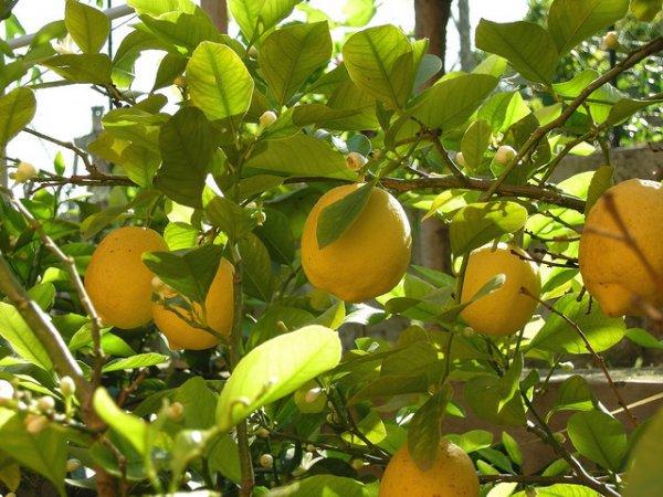 Лимон Новогрузинский – сорт сильнорослый
